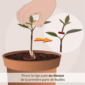 Comment Faire Pousser Des Avocats : pincez la plantule potager pinterest avocat climat tropical et avocatier ~ Melissatoandfro.com Idées de Décoration