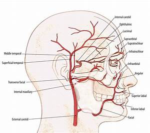 Arteries of face | Uni | Pinterest