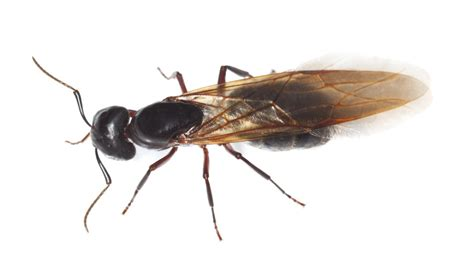 carpenter ants with wings do i have termites or ants what do termites look like