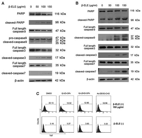 in cell western β elemene induces glioma cell apoptosis by downregulating