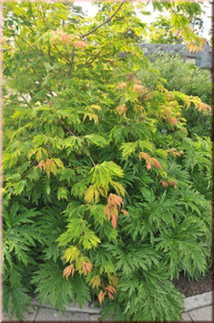 japanischer ahorn formschnitt kugelakazie robinia pseudoac umbraculifera 100 100 cm bestellen sie in der baumschule 1 a