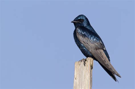 image gallery purple martin