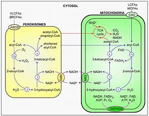 Comparison And Interplay Of Peroxisomal And Mitochondrial