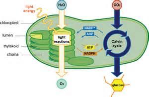Light Photosynthesis Chloroplast
