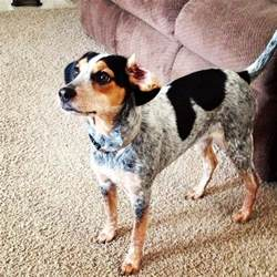 blue heeler beagle mix behaviors breeds picture