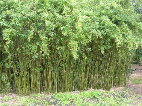 varieties bamboo whitsunday