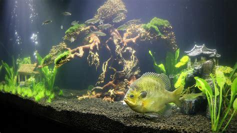 aquarium update bonsai tree    pet bluegill