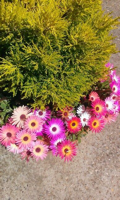 flowers that spillover 17 best images about spillover plants on pinterest