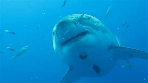 great white shark     feet long sbnationcom
