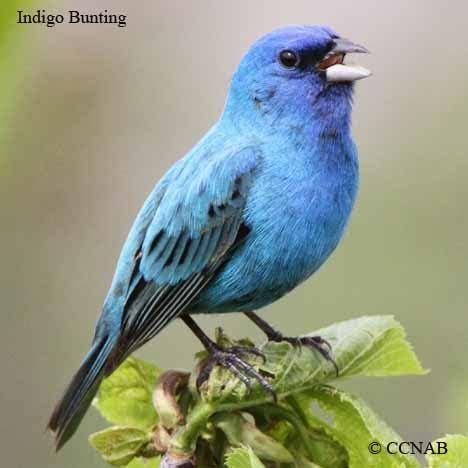 blue birds birds  color north american birds birds