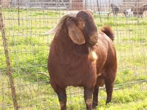 Red Boer Goats