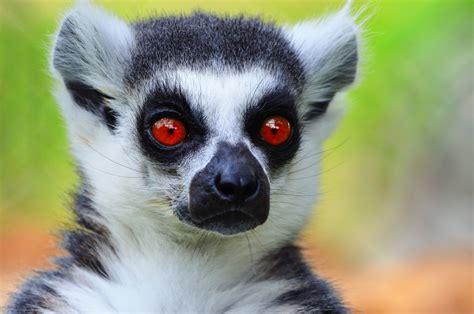 lemur | a lemur shot in zoo of Morelia. Mexico. These ...