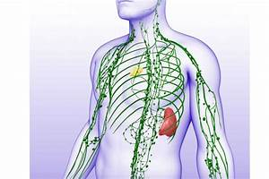 The Lymphatic System Includes the Thymus and Nodes  Lymph
