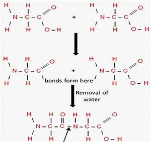 Formation of peptide bond with removal of water molecule ...