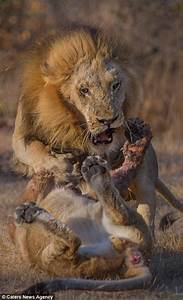 Chris Renshaw photographs capture lions fighting in ...