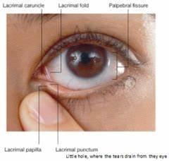 Orbit and Eye Adnexa flashcards | Quizlet