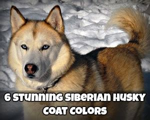 husky coat colors breeds discoveries