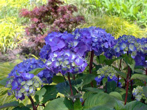 Hortensie Endless Summer Kaufen 27 by Hortensie Endless Summer Bloomstar 174 Hortensientr 228 Ume