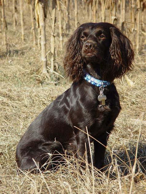 Do Boykin Spaniel Dogs Shed by Boykin Spaniel Pictures Breeds Picture
