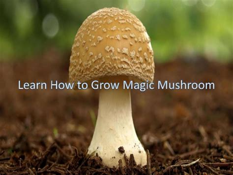 how do mushrooms grow grow magic mushrooms on your own