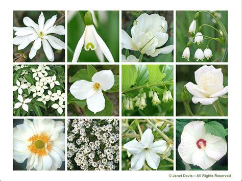 white garden flowers white perennials janet davis explores colour