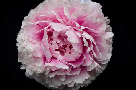 peony flowers hd wallpapers