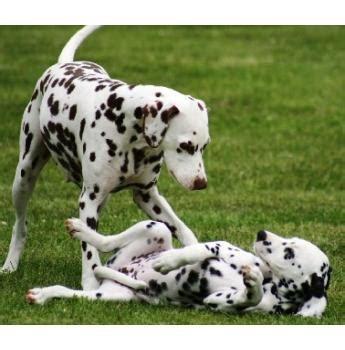 cristabo kennels dalmatian breeder wellington  zealand