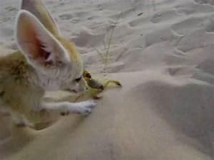 Fennecus zerda VS Androctonus australis FENNEC FOX HANTING ...