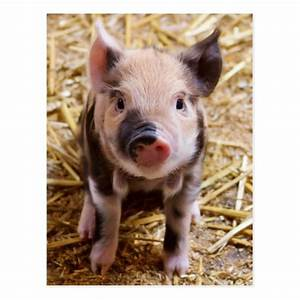 Cute Baby Piglet Farm Animals Barnyard Babies Postcard ...