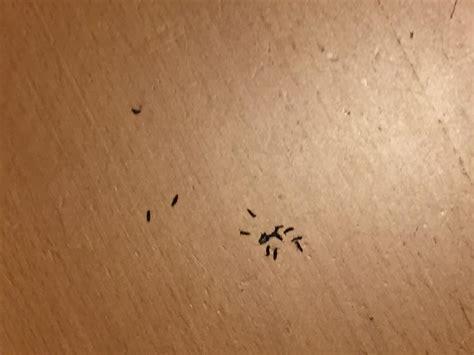 insetti neri volanti piccoli insetti volanti pestforum