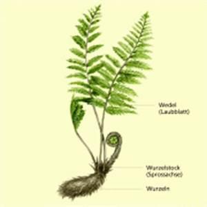 Bau Der Pflanze : farnpflanzen in biologie sch lerlexikon lernhelfer ~ Lizthompson.info Haus und Dekorationen