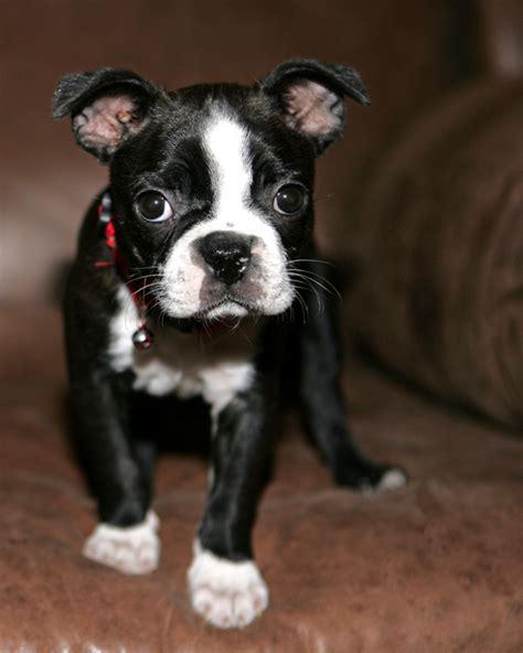 boston terrier boston terrier dog breeds