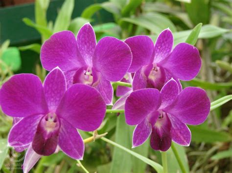 information of orchid flower photo collection of flowers in sri lanka
