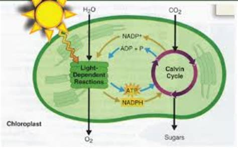 ninth grade lesson putting  energy  photosynthesis