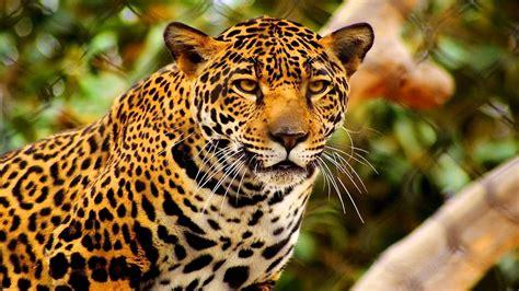 The Jaguar Year Of The Cat Animals Wildlife Nature