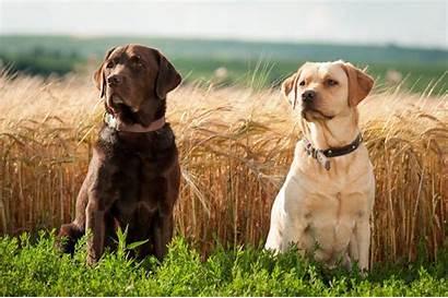 Labrador Dog Wallpapers Retriever Resolution