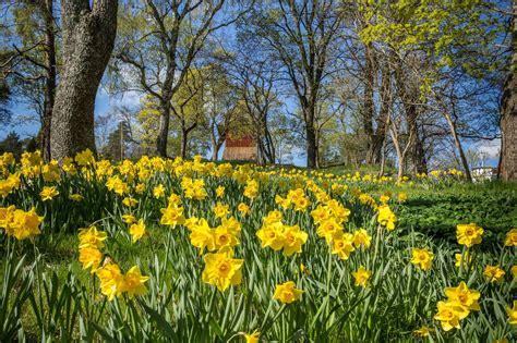 daffodil naturalizing   naturalize daffodil bulbs