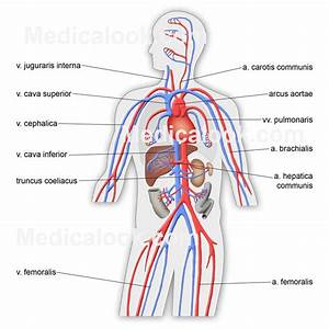 Simple Diagram Of The Circulatory System - Anatomy Organ