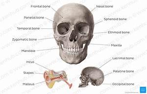 Diagram    Pictures  Main Bones Of The Head  Anatomy