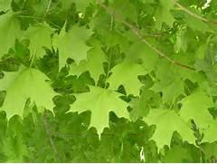 Albion Trees    Sugar ...Sugar Maple Tree