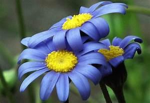 Blue Yellow Flowers 22 Widescreen Wallpaper ...