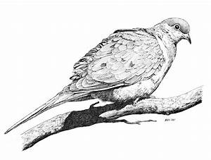 """Eric Ray drawing """"Mourning Dove"""". 10""""x8"""" pen and ink on ..."""