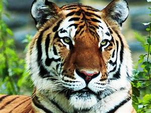 Tiger Pictures Big Cats - HD Animal Wallpapers