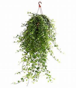 Efeu Als Zimmerpflanze : efeu 39 mein herz 39 ampel dehner ~ Indierocktalk.com Haus und Dekorationen