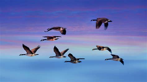 canadian geese flying  sunset fondo de pantalla hd