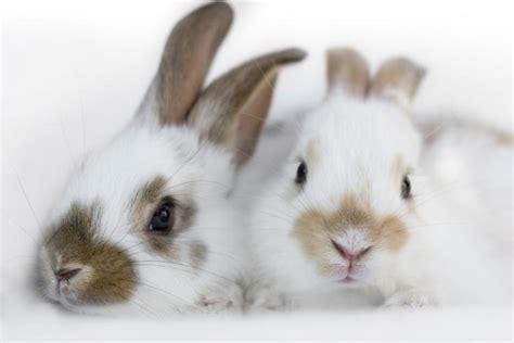 rabbit breeds hd animals rabbit breeds