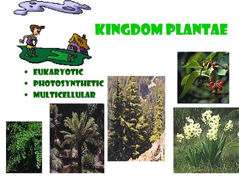 plantae kingdom classification ppt powerpoint presentation eukaryotic photosynthetic multicellular