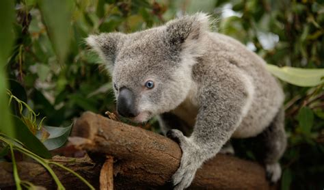 New Koala Genome Bank Aims To End Chlamydia Epidemic