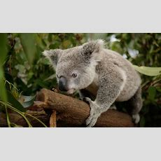 New Koala Genome Bank Aims To End Chlamydia Epidemic  Australian Geographic