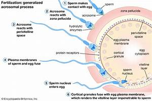 Sperm penetrating shell of embryo